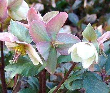 Морозники самые ранниие цветы