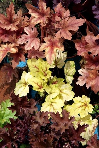 Гейхеры новые сорта в наличии лето 2012