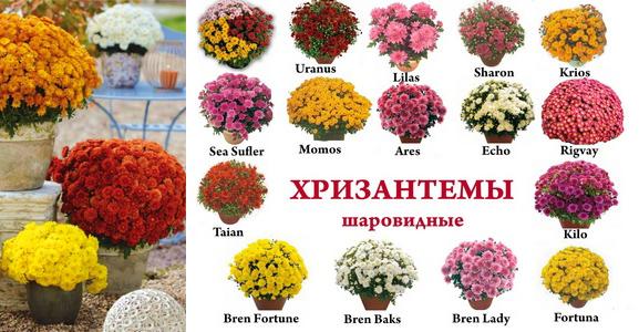 Шаровидные хризантемы от 12 грн