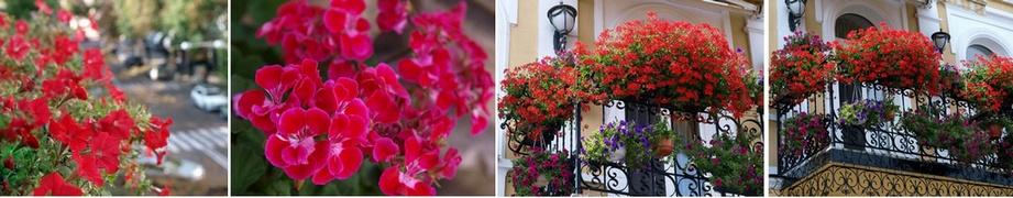 cvety_dlya_balkonov2013