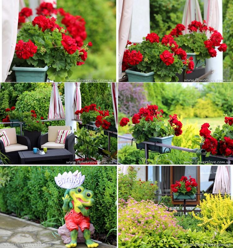 рассада цветов для балкона