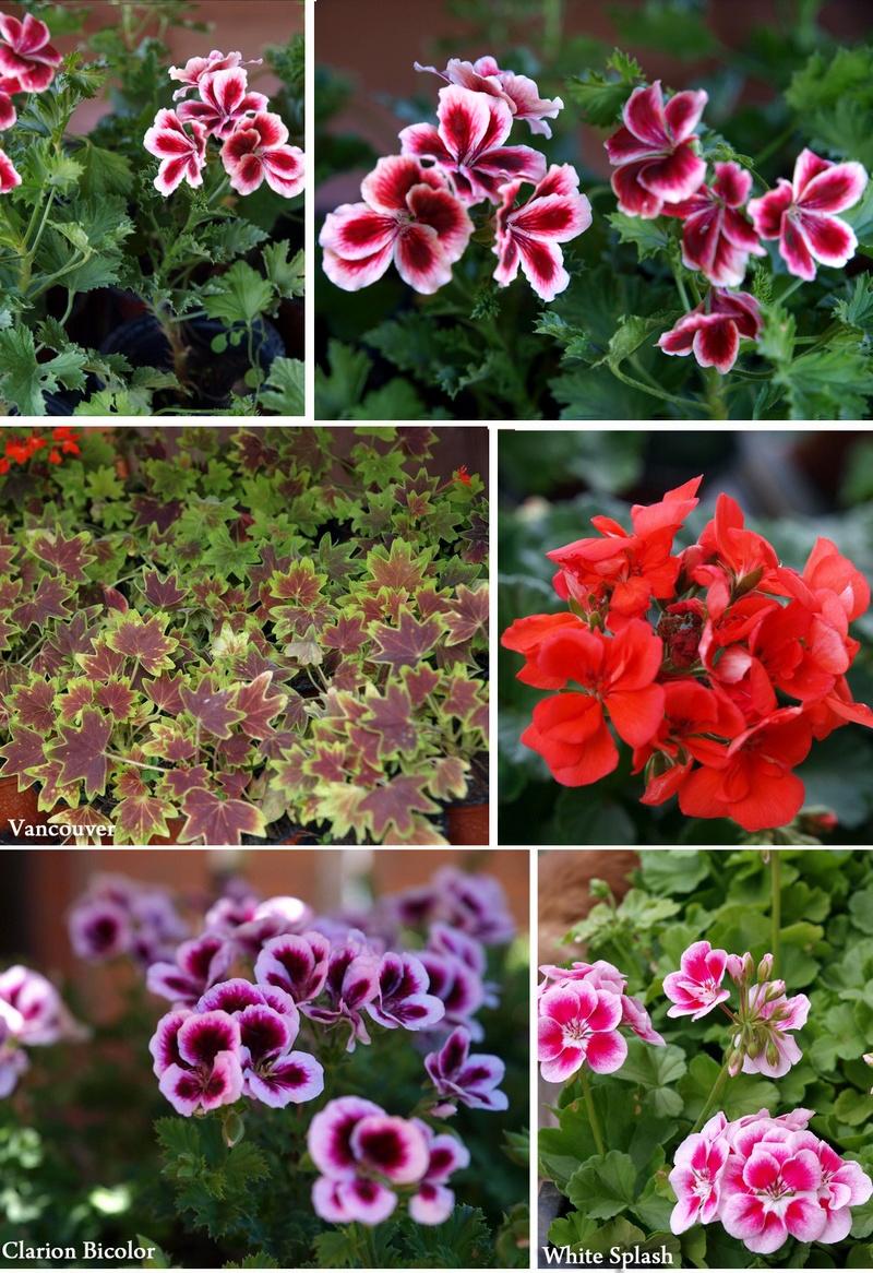 flowerslove_pelargonium_2012
