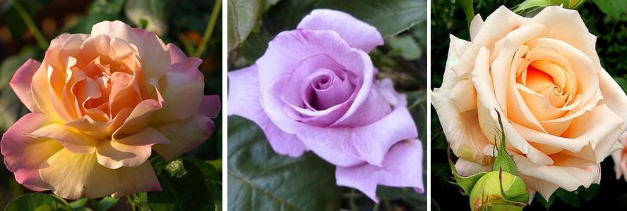 rose parfome