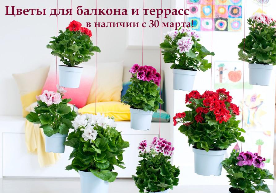 цветы для балкона пеларгония петуния купить киев одесса