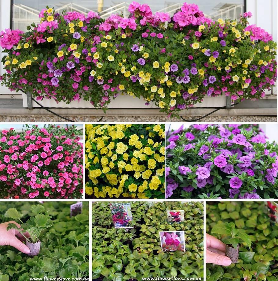 cvety-dlya-balkona-kiev