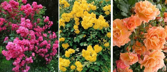 rose pletistye