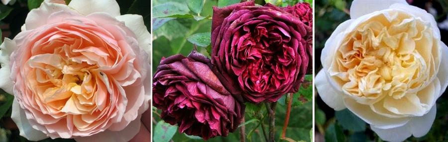 angliyskie rosy
