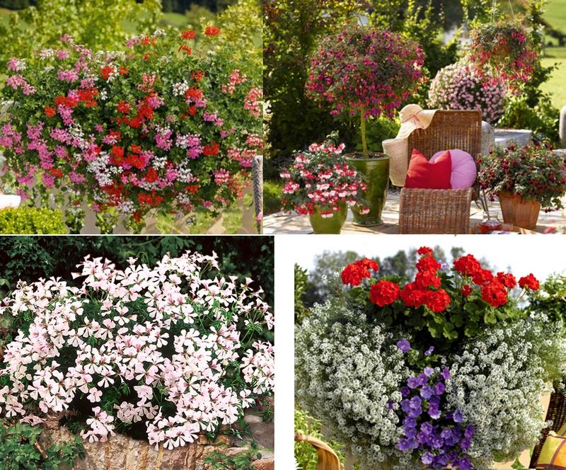 цветы для балкона киев