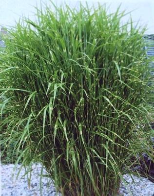 Декоративные травы модный акцент в