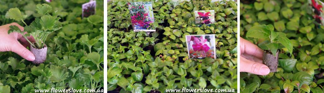 Более 120 сортов рассады цветов для
