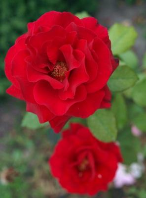 Востребованность сортов роз за