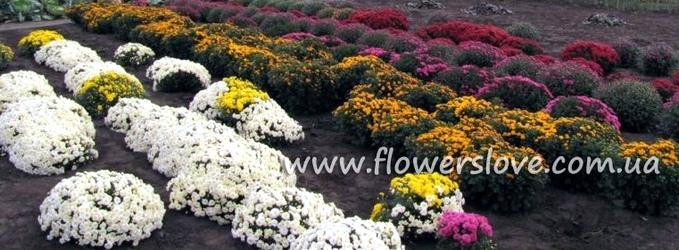 chrisantema