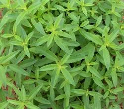 растения с запахом лимона фото