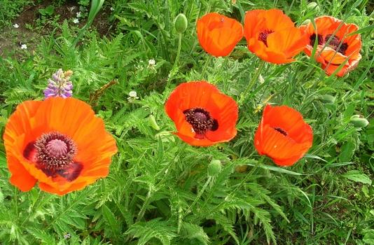 мак растение фото