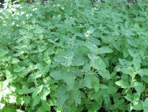 фото растения котовник