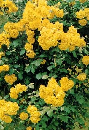 Желтая плетистая роза фото