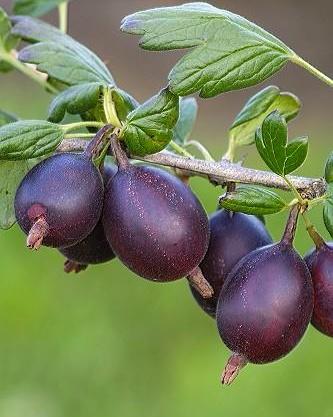 Йошта многолетнее растение, Ягодные кустарники – купить в Киеве.