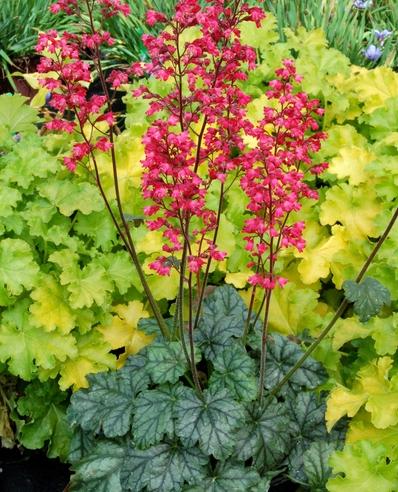 Цветок гейхера на фото