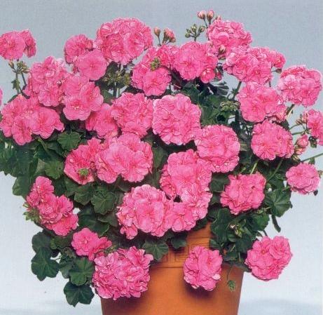 Пеларгония фото цветов ампельная
