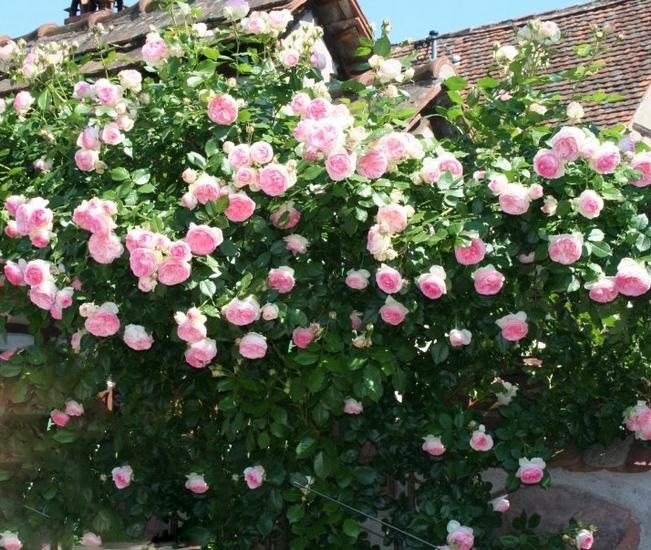 Розы плетистые купить киев доставка цветов донецк ростов