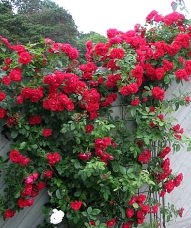 Душистые розы спб