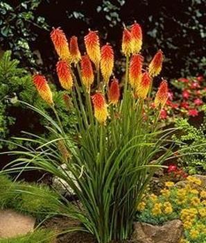 многолетнее растение Книфофия uvaria Flamenko