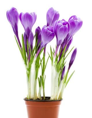 Крокус цветы купить цветы для шляпки купить