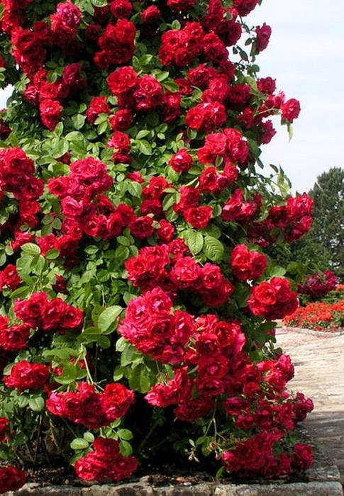 табога, плетистая роза кримсон рамблер фото центра