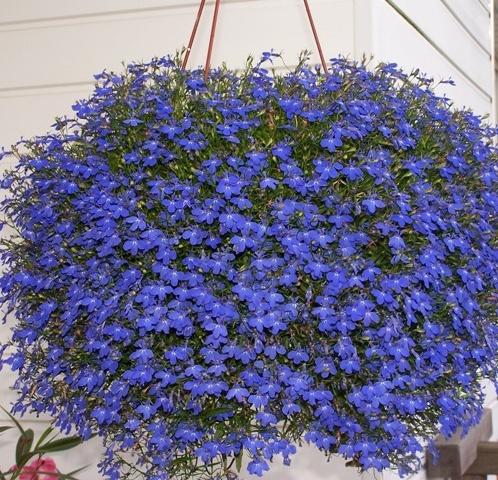 цветы лобелия фото: