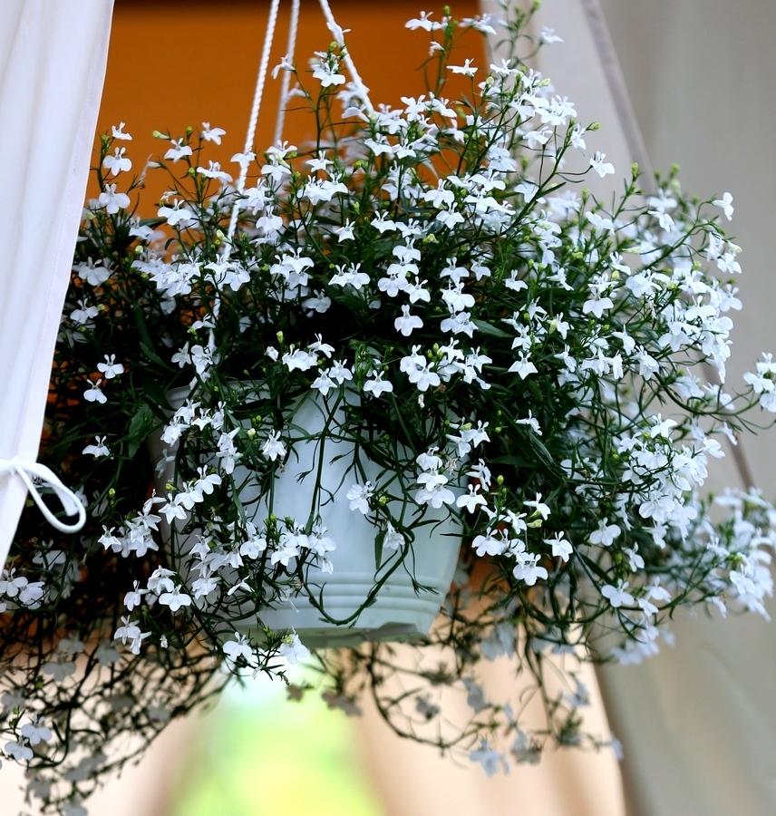 Лобелия белая в подвесном горшке декоративное растение, цвет.