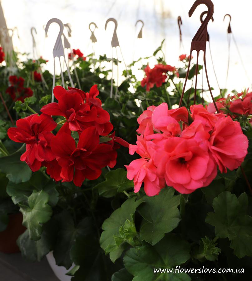 Xпеларгония ампельная в горшке декоративное растение, цветы .
