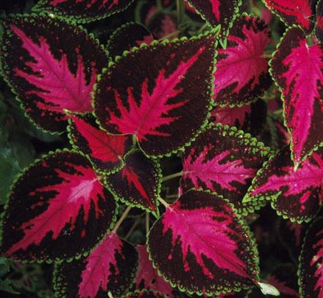 Цветок с бархатными листьями
