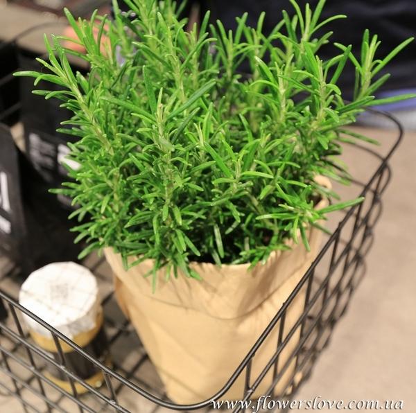 горшке пряные растения фото в